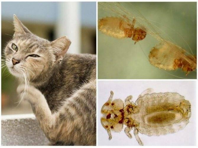 Есть ли у кошек вши. вши у кошек: бывают ли у них эти паразиты и как их вывести. кокцидии у кошки