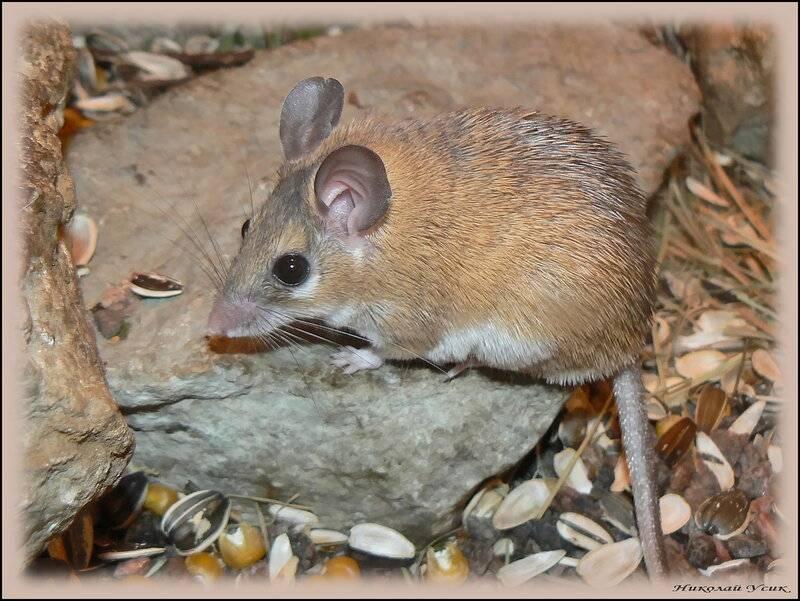 Как устроен организм мышей