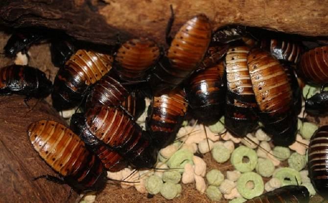 Морские тараканы: описание, особенности, фото