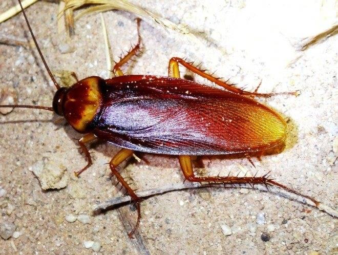 Самые большие тараканы в мире- фото и описание