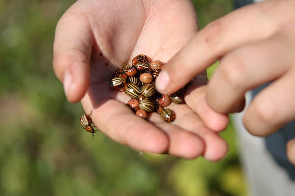 Проверенные народные средства от колорадского жука