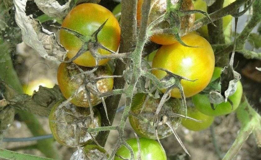Как избавиться от белокрылки в теплице на огурцах и помидорах