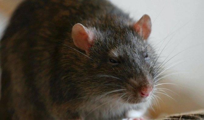 Домашняя крыса издаёт странные звуки: хрюканье, стрекотание, как голубь, при дыхании, носом, как лечить