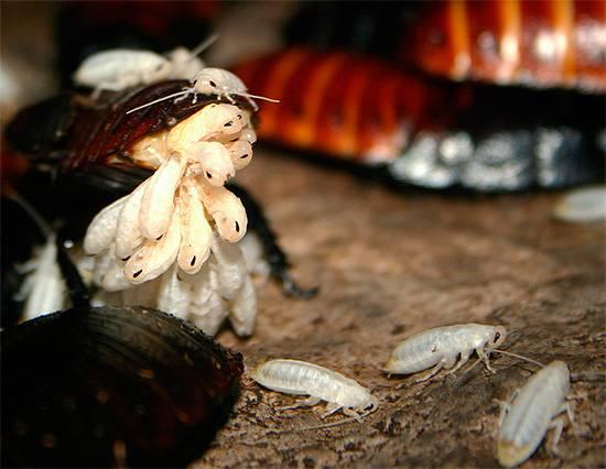 Сколько личинок маленького таракана может вылупиться из одного яйца?