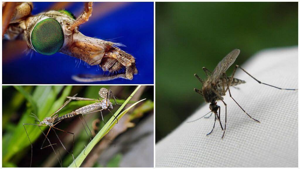 Цикл жизни комаров: от личинки до взрослой особи