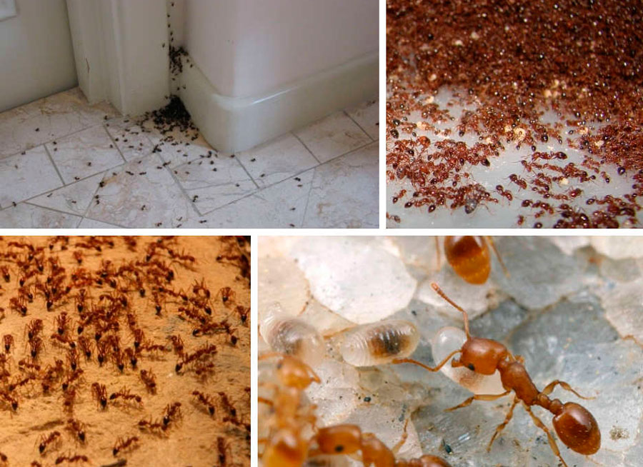 Откуда берутся мелкие рыжие муравьи в квартире и как их уничтожить