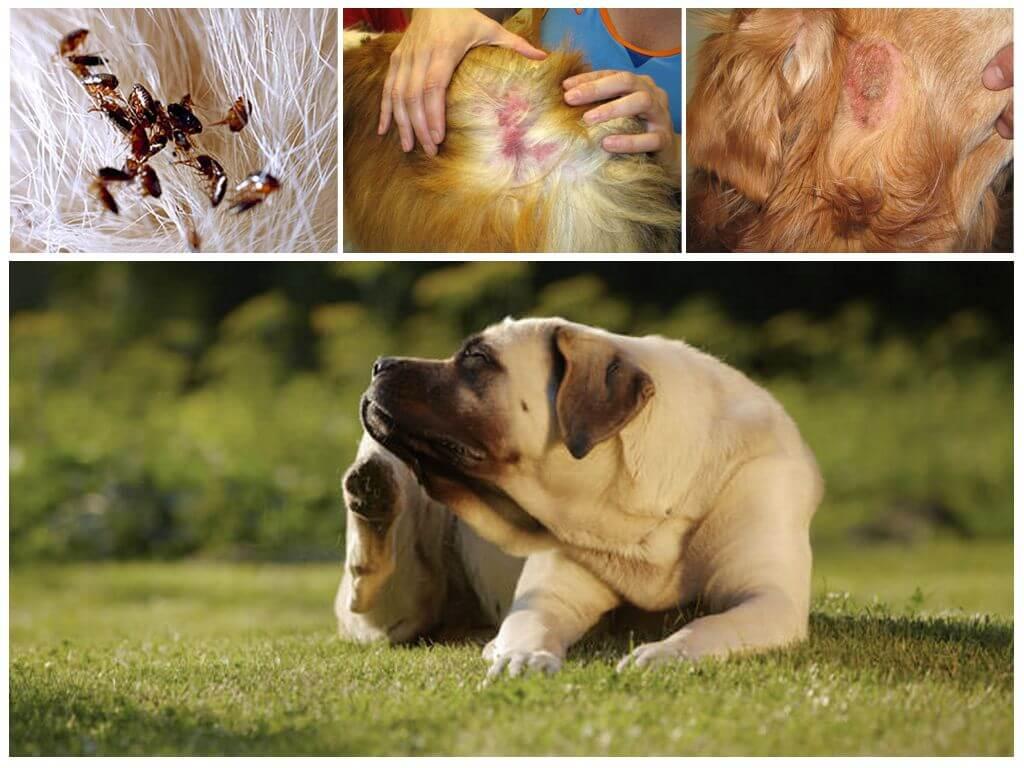 Что делать если мухи едят уши у собаки