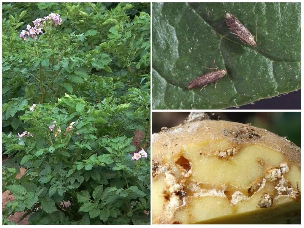 Чем бороться от картофельной моли | вырасти сад!
