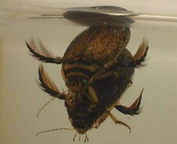 Жук плавунец – совершенный хищник водоемов