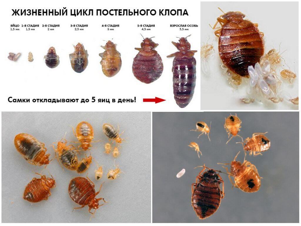 Как выглядят личинки постельного клопа. описание, фото, способы уничтожения