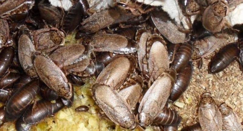Мраморные тараканы содержание и чем кормить