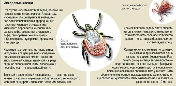 Иксодовые клещи: чем опасны для человека, меры борьбы