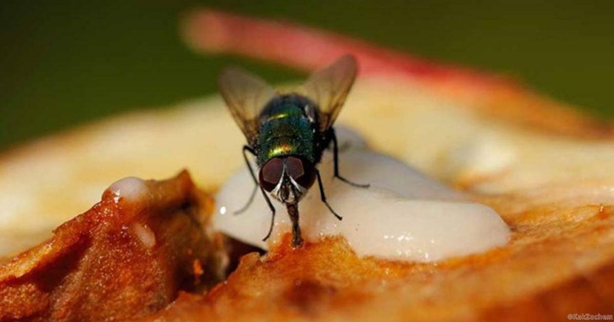 Чем питаются мухи в домашних условиях