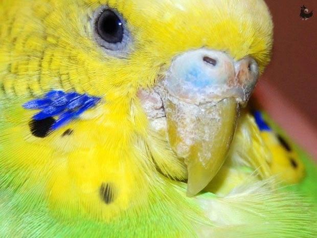 Чесоточный клещ у попугая: лечение различными методами