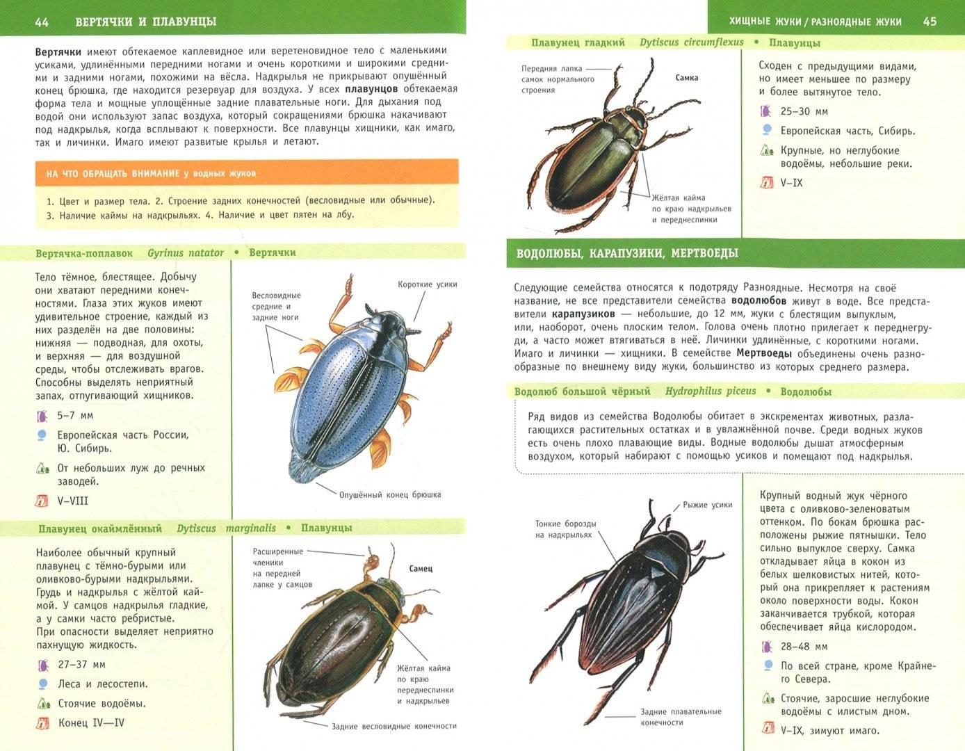 Жук плавунец — интересные факты о насекомом   vivareit