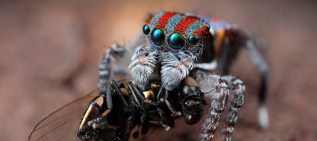 Кто такие пауки-скакуны и где они обитают