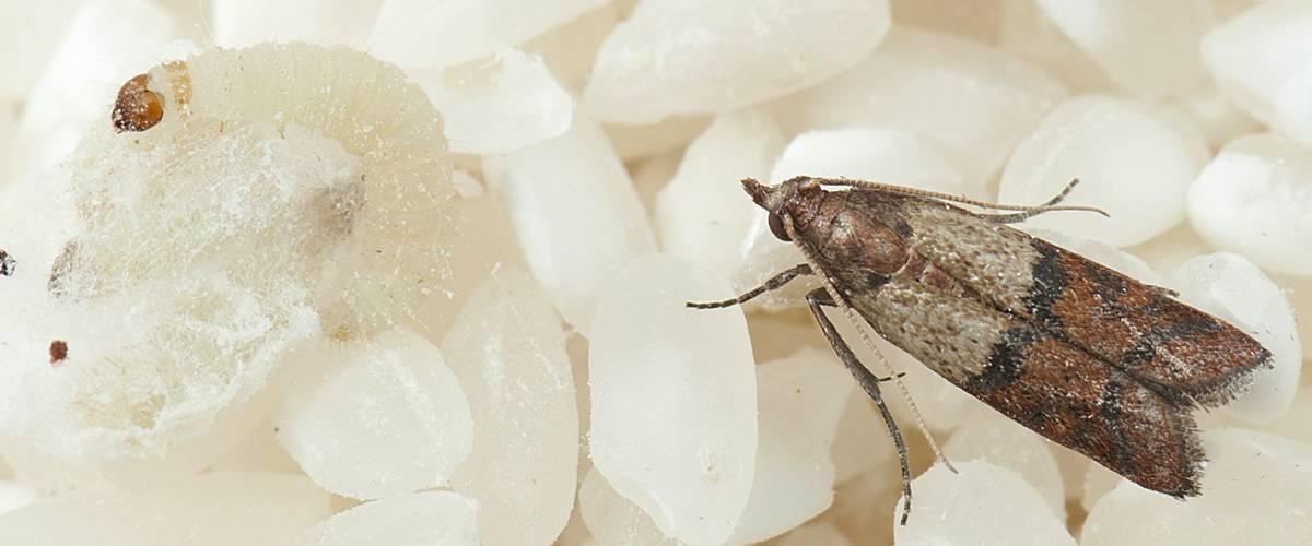 Появление пищевой моли на кухне, как избавиться от этих насекомых