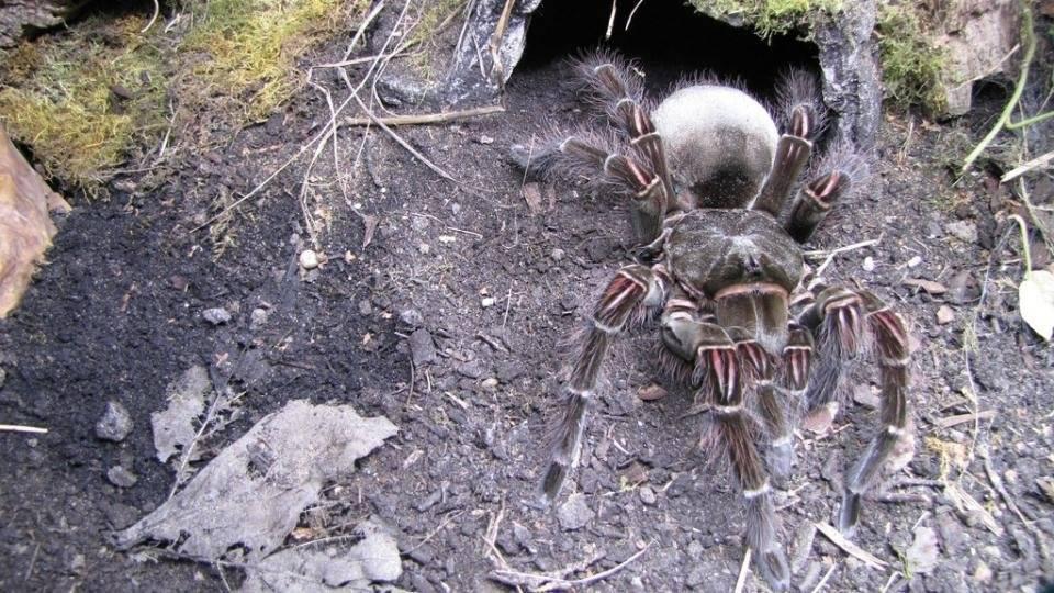 Гигантские пауки. самый большой паук в мире. птицеед — самый большой паук в мире