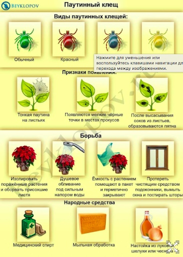 Паутинный клещ на комнатных растениях: как бороться в домашних условиях с применением химических средств и народных способов, фото, видео