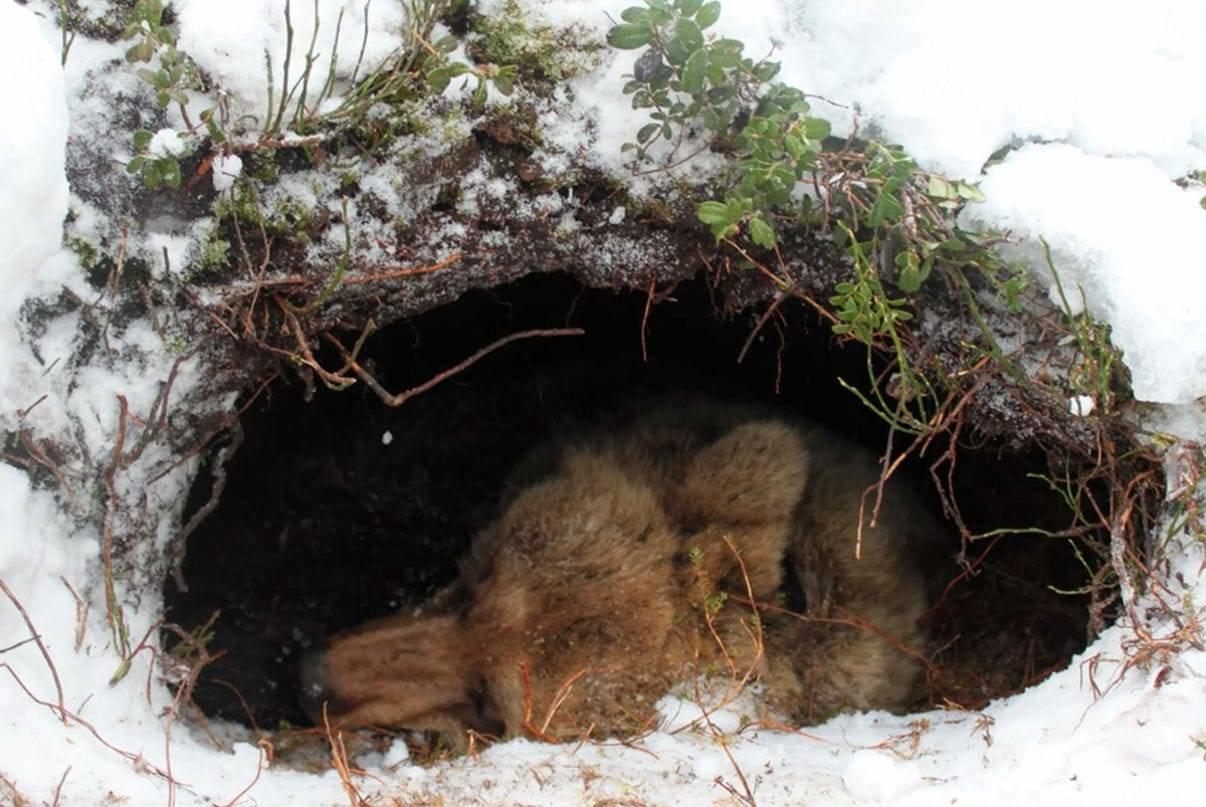 Спячка ежей в домашних условиях: когда впадают и сколько спят зимой?