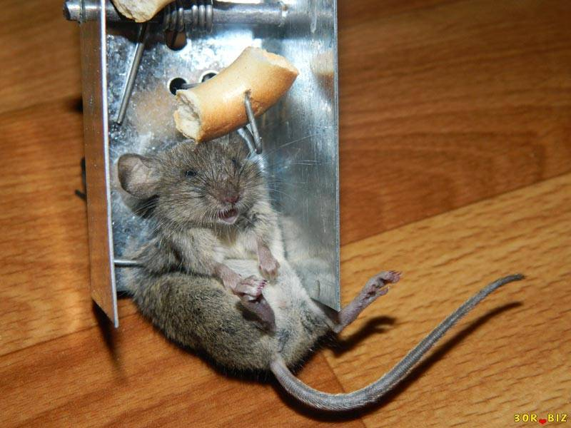 Как поймать мышь в доме без мышеловки