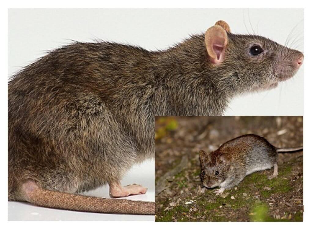 50 интересных фактов о мышах — общенет