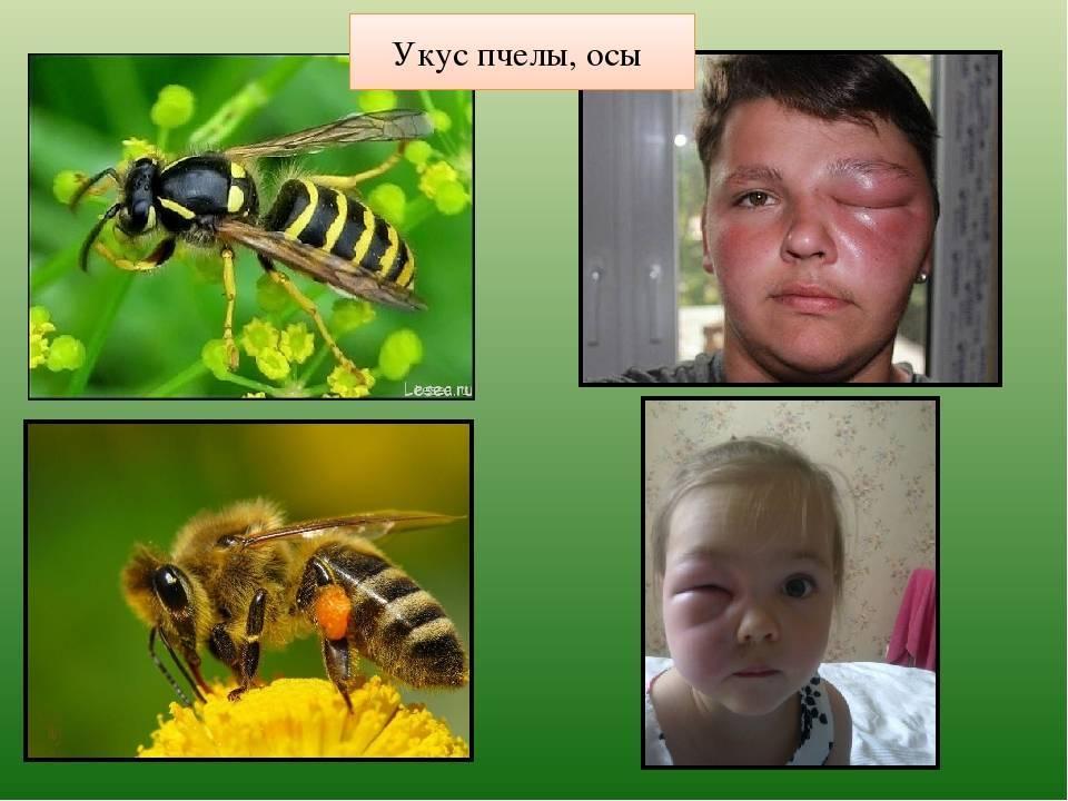 Отличия осы, пчелы, шершня и шмеля: чем отличаются насекомые и их сравнение с фото