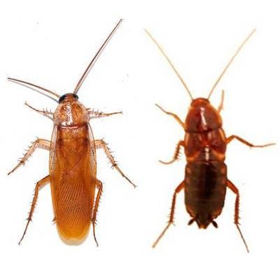 Размножение домашних тараканов: каким образом и как быстро?