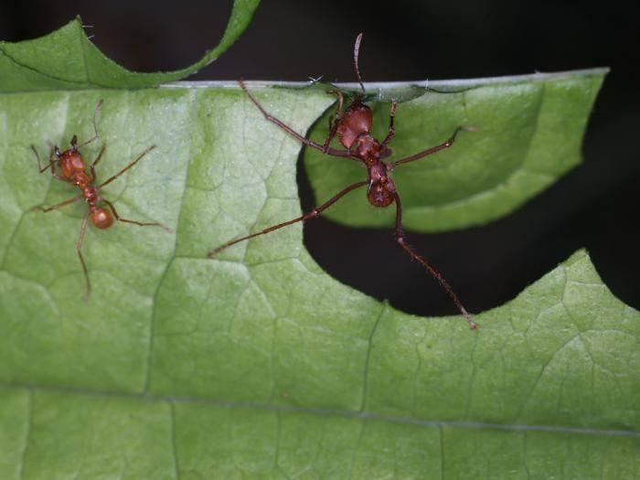 Муравьи листорезы: как выглядят, фото, зачем им нужны листья?
