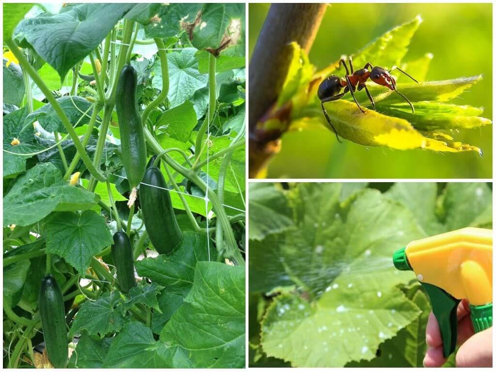 Как избавиться от муравьев на грядке с огурцами - 100 фото и видео избавления от муравьев в теплице и саду
