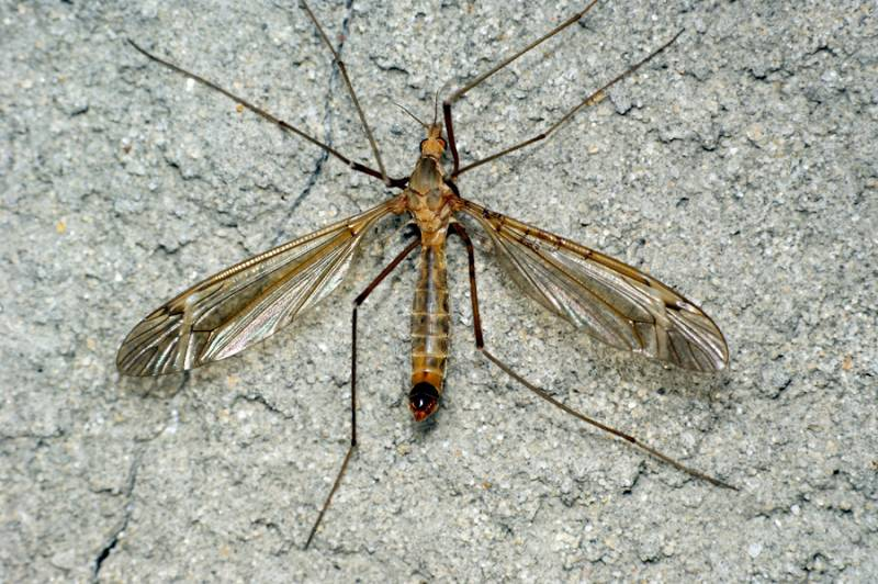 Особенности строения комара