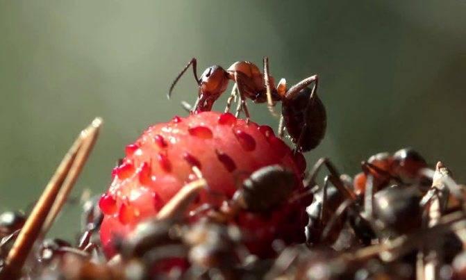✅ о способах и средствах борьбы с муравьями на клубнике: народные рецепты - tehnomir32.ru