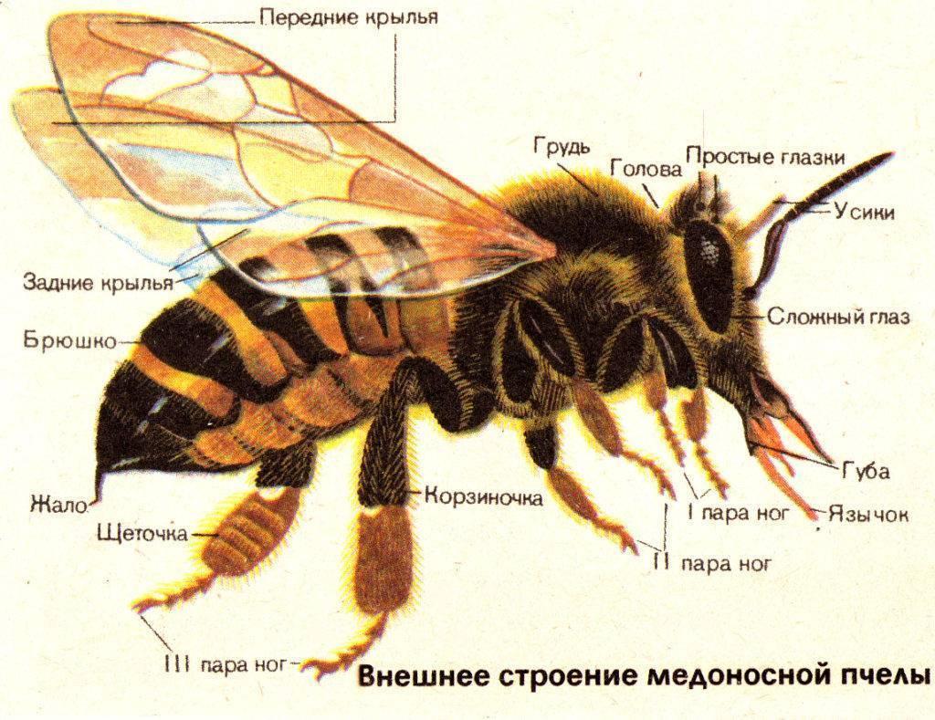 Сколько живет медоносная пчела: описание, строение, правила содержания