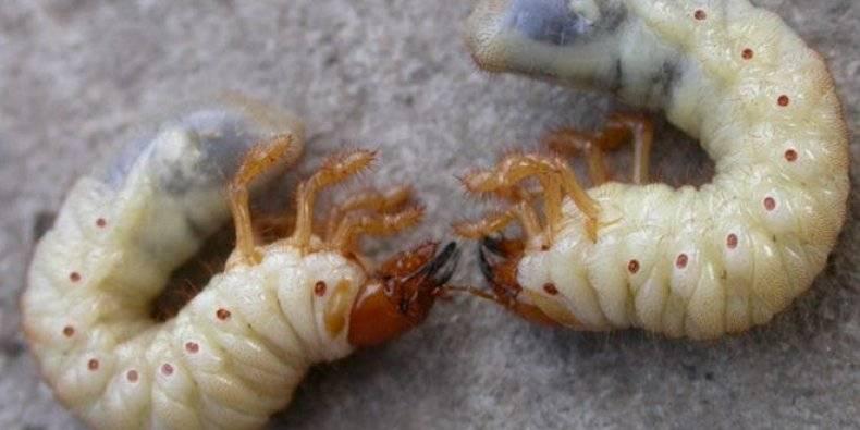 Отличия личинки майского жука (хруща) от медведки, фото