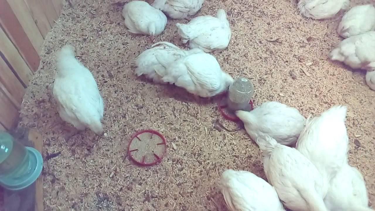 Чем обработать курятник от блох: химические средства и народные методы