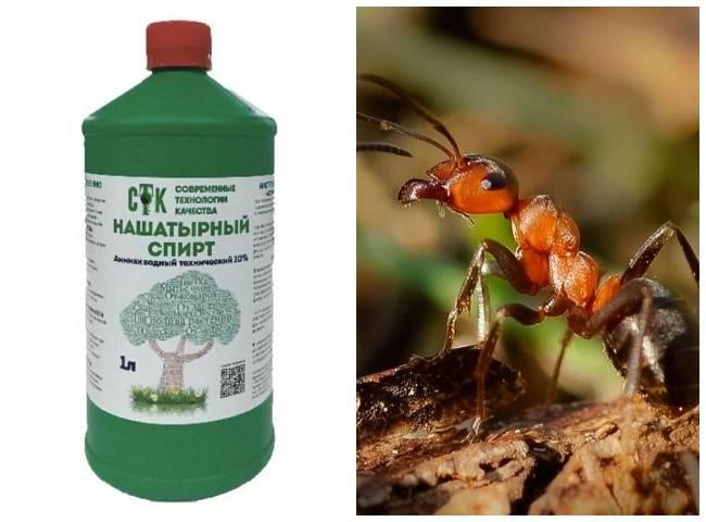 Нашатырь от муравьев на огороде: описываем досконально