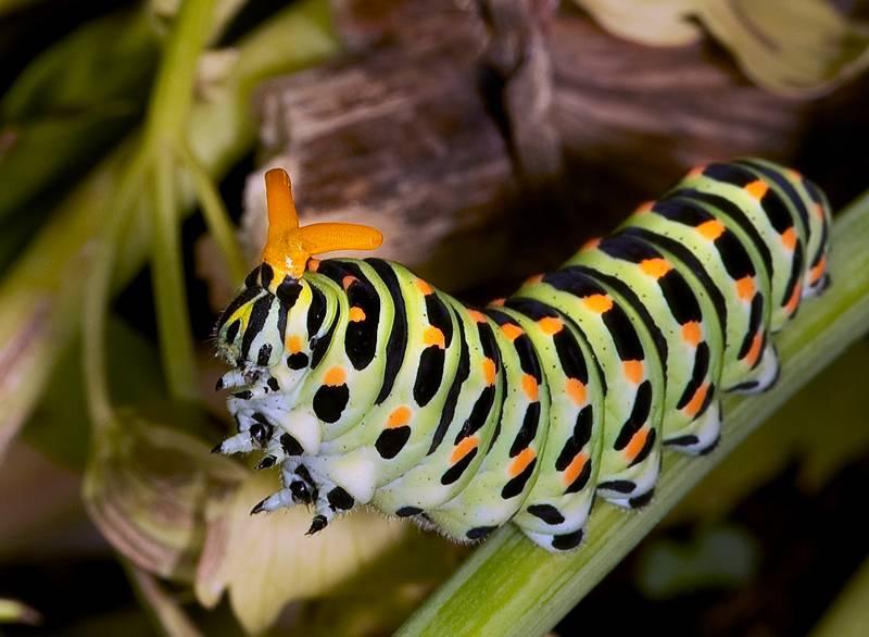 Махаон: гусеница и бабочка, описание и внешний вид с фото