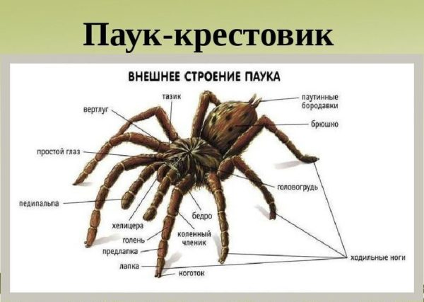 Паук крестовик: особенности нервной или пищеварительной системы и внутреннего строения паука, его питание и к какому классу относится