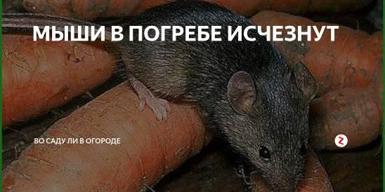 Серая крыса пасюк, как избавиться от неё в подвале частного дома?