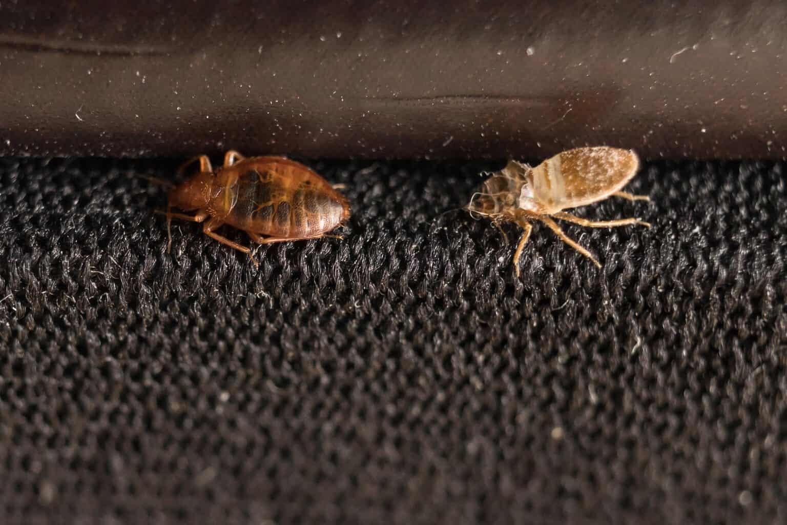 Как передвигаются постельные клопы: летают ли они?
