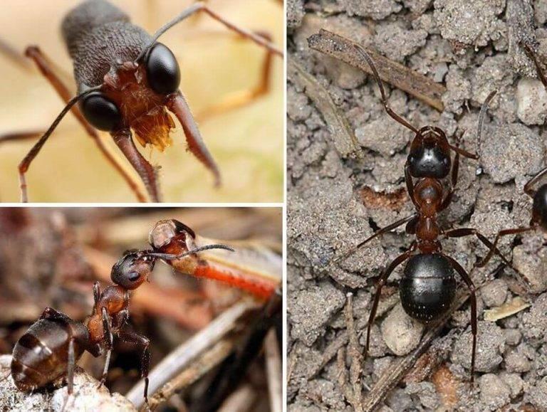 Виды муравьев - фото, названия и описания