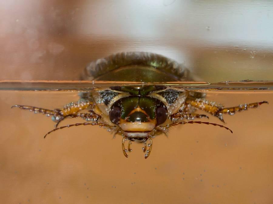 Жуки плавунцы — где они обитают и чем питаются
