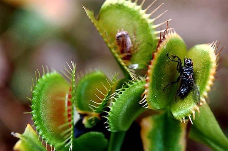 Растение которое ест мух? где его взять? название? уживется в комнате ? кто он такой — цветок, который ест мух?