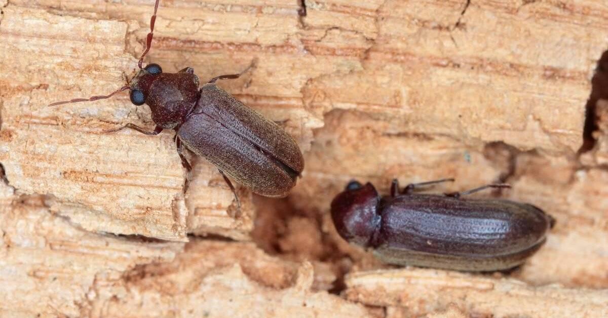 Как избавиться от жука точильщика в доме