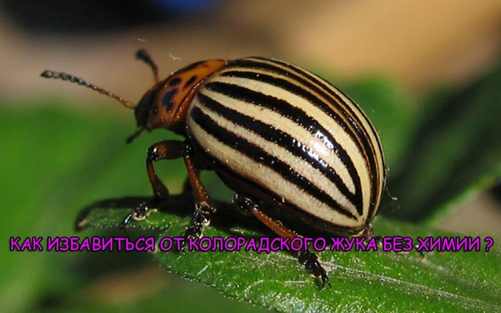 Список эффективных средств от колорадских жуков