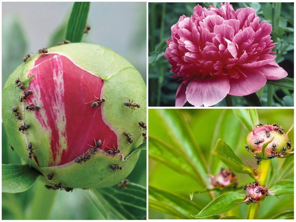 Муравьи на пионах: как избавиться, откуда берутся, какой вред наносят, чем обрабатывать цветы для профилактики