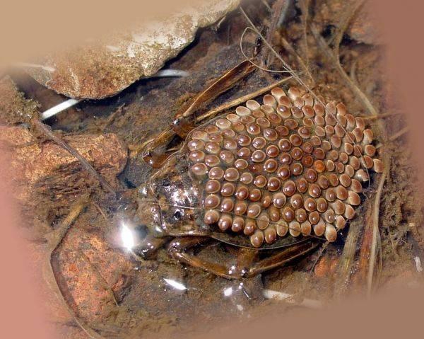 Водяной клоп: хищник, скрывающийся в водоемах. как выглядит водяные клопы и стоит ли их опасаться (водомерка, гладыш, белостома)