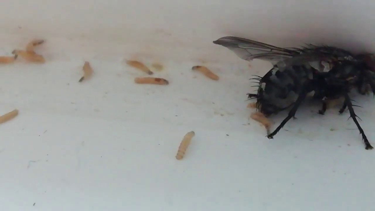 Что будет, если съесть яйца или личинки мухи - сорнякам нет
