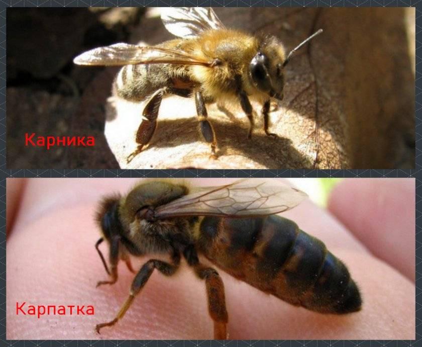 """Пчелы """"карника"""" - порода, характеристика и особенности"""