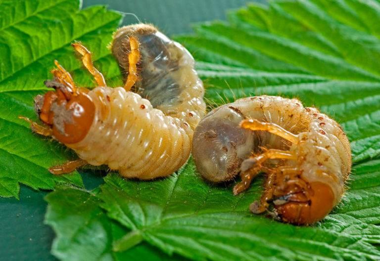 Борьба с личинками майского жука на клубнике: как избавиться от вредителя